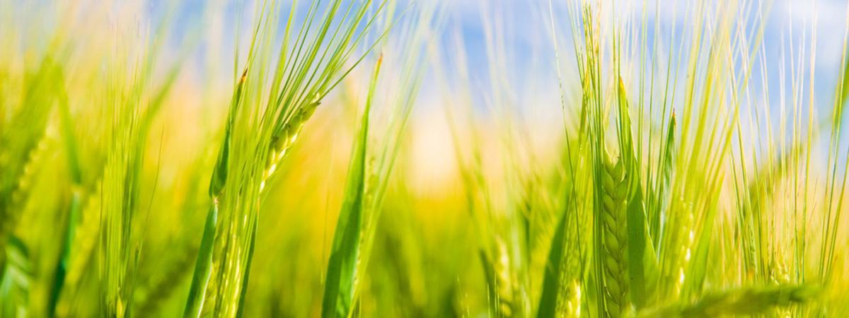 تولید انواع ارقام بذر گندم